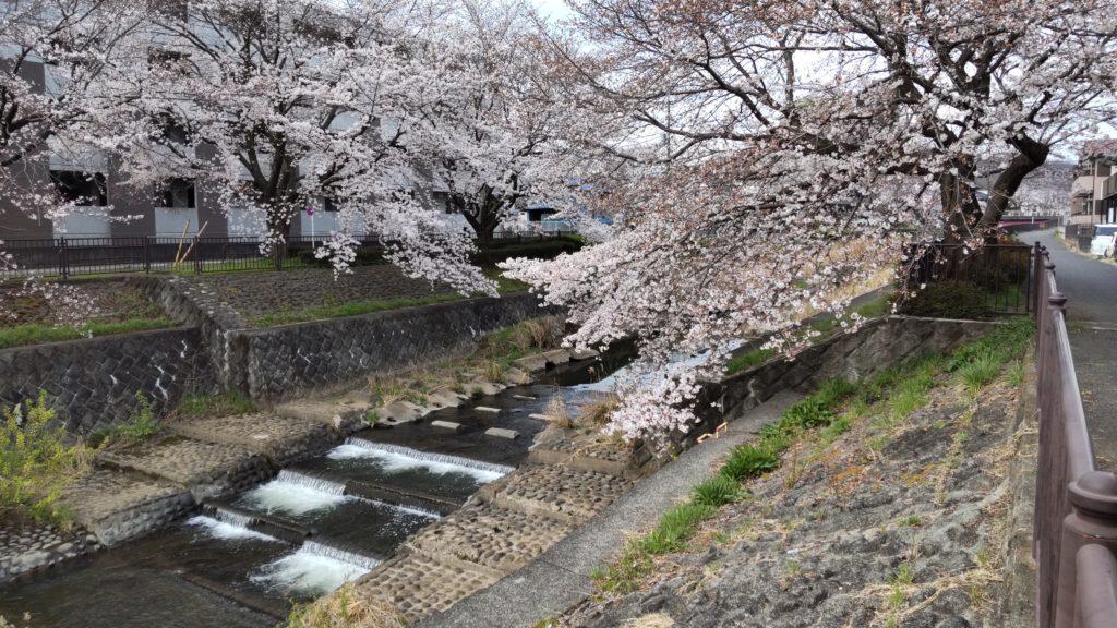 片倉町会の桜