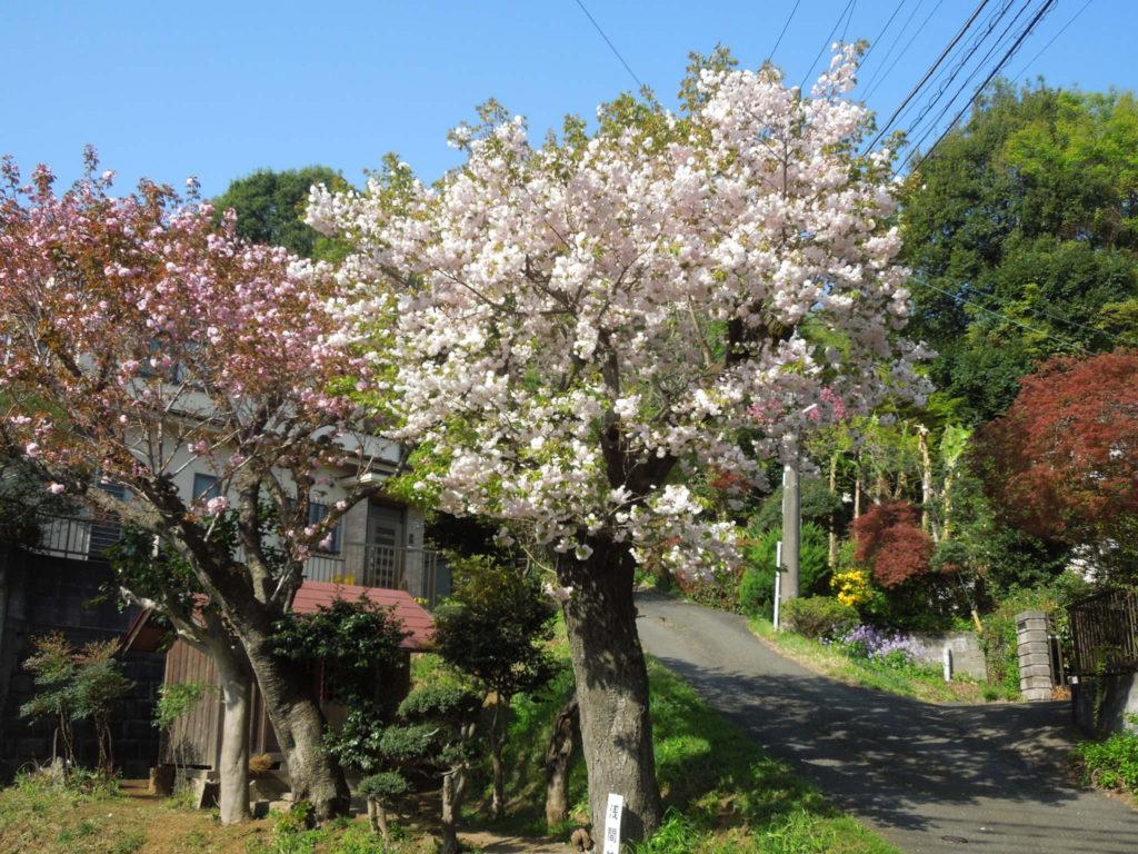 浅間神社のサクラ
